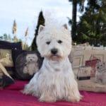 westie-west-highland-white-terrier-eleveur-photographe