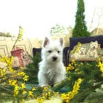 westie-west-highland-white-terrier-jardin