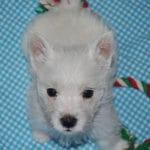 westie-west-highland-white-terrier-lit