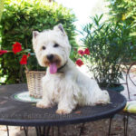 westie-west-highland-white-terrier-table