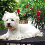 westie-west-highland-white-terrier-table-couche