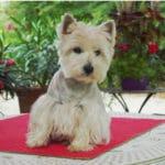 westie-west-highland-white-terrier-table-jardin