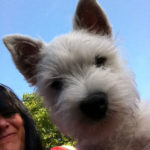westie-west-highland-white-terrier-tete-2