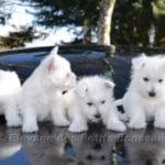 westie-west-highland-white-terrier-voiture