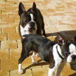 boston-terrier-couple