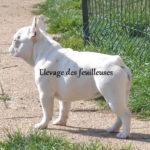 bouledogue-francais-blanc