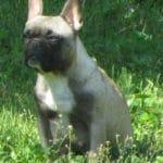 bouledogue-francais-chiennebouledogue-francais-chienne