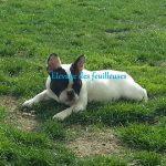 bouledogue-francais-gazon