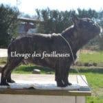 bouledogue-francais-profil