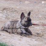 bouledogue-francais-sable