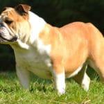 bulldog-anglais-profil