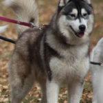 husky-siberien-attache