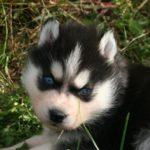 husky-siberien-chiot-portrait