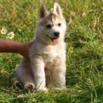 husky-siberien-chiot-prairie