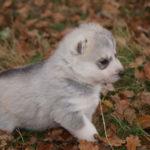 husky-siberien-chiot-profil
