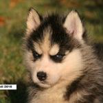 husky-siberien-chiot-tete