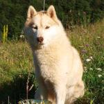 husky-siberien-face