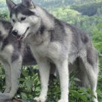 husky-siberien-foret