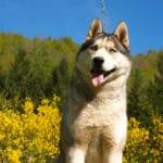 husky-siberien-genet