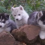 husky-siberien-groupe-chiots