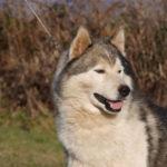 husky-siberien-portrait