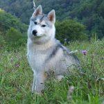 husky-siberien-prairie