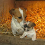jack-russel-terrier-chienne-chiot