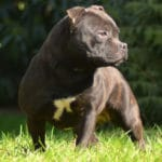 staffordshire-bull-terrier-exterieur