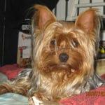 yorkshire-terrier-portrait