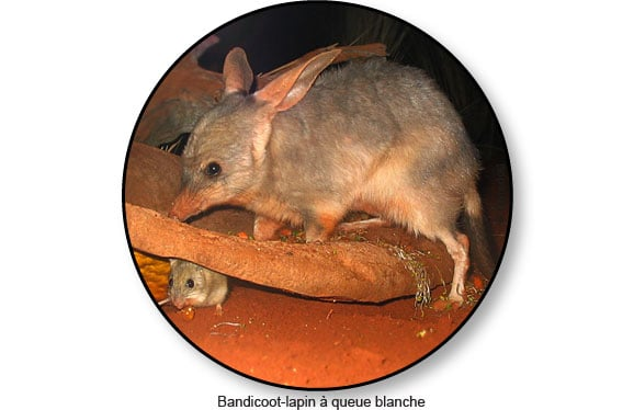 bandicoot-lapin-queue-blanche-australie
