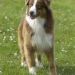 berger-australien-chien-exterieur