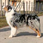 berger-australien-chien-pofil