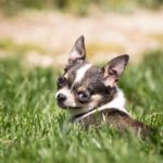 chihuahua-chien-herbe