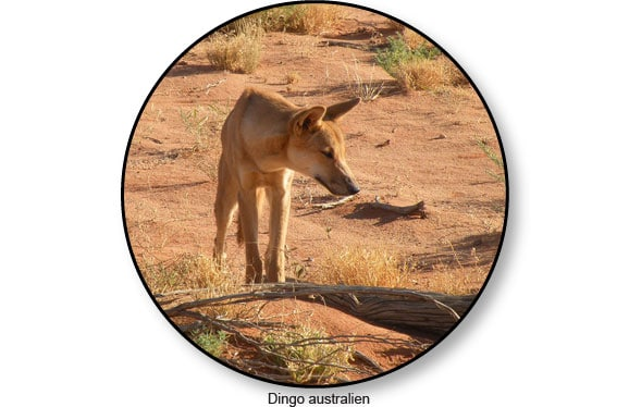 dingo-australien-australie-bush