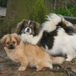 epagneul-tibetain-chien-exterieur