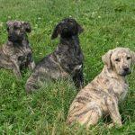 fila-de-saint-miguel-chiots-trio
