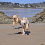 golden-retriever-chien-courir