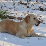 golden-retriever-chien-neige