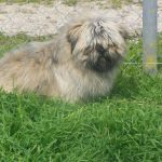 lhassa-apso-herbe
