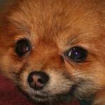 spitz-allemand-chien-portrait