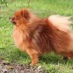 spitz-allemand-chien-profil