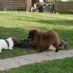spitz-allemand-chienne-chiots