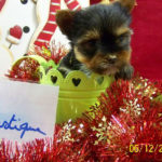 yorkshire-terrier-chiot
