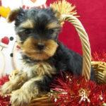 yorkshire-terrier-chiot-panier