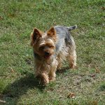 yorkshire-terrier-exterieur