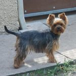 yorkshire-terrier-profil