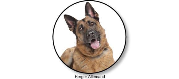 berger-allemand