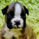 boxer-chien-chiot-portrait