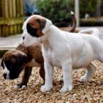 boxer-chien-chiots