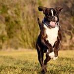 boxer-chien-courir